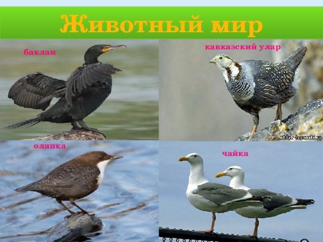 Животный мир кавказский улар баклан оляпка чайка