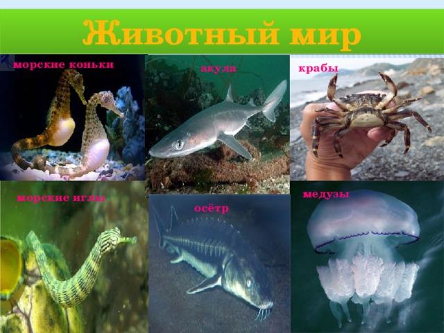 Животный мир морские коньки крабы акула медузы морские иглы осётр