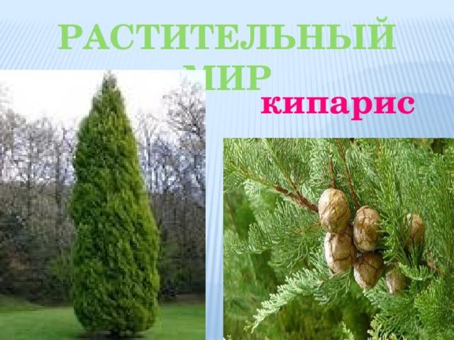 Растительный мир кипарис