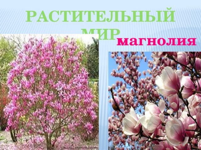 Растительный мир магнолия