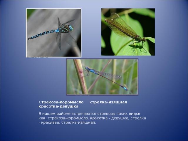 Стрекоза-коромысло стрелка-изящная красотка-девушка     В нашем районе встречаются стрекозы таких видов как: стрекоза-коромысло, красотка - девушка, стрелка - красивая, стрелка-изящная.