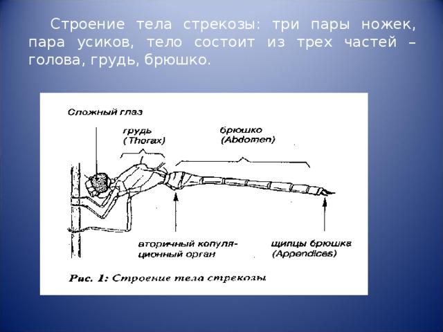 Строение тела стрекозы: три пары ножек, пара усиков, тело состоит из трех частей – голова, грудь, брюшко.