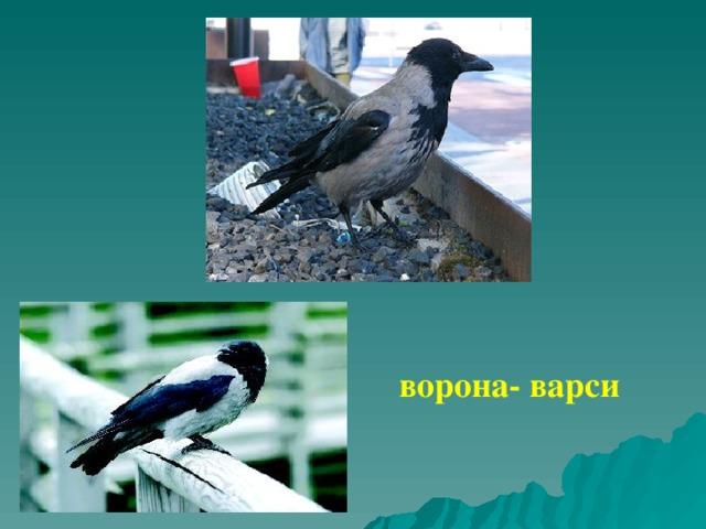 ворона- варси