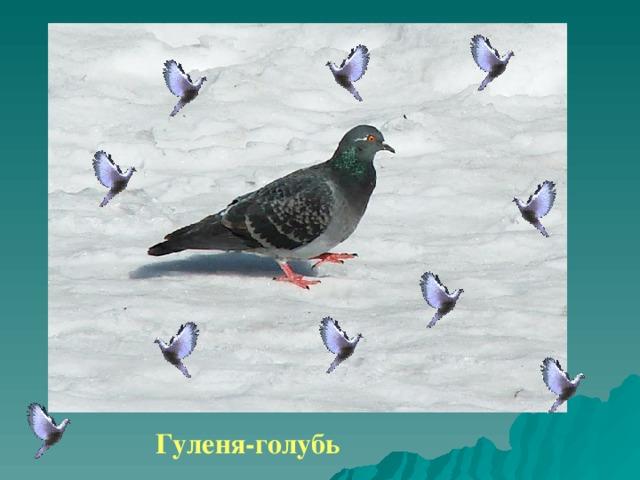 Гуленя-голубь