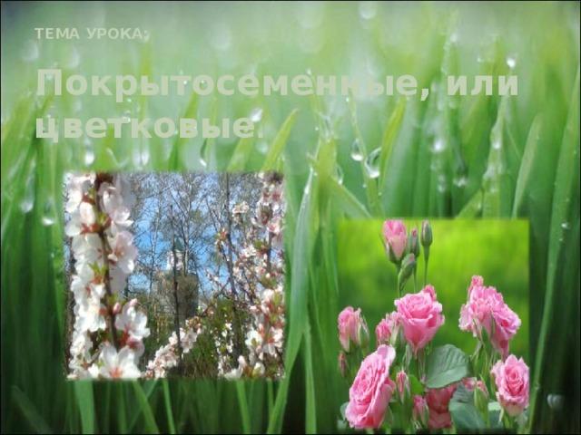 ТЕМА УРОКА:   Покрытосеменные, или цветковые .