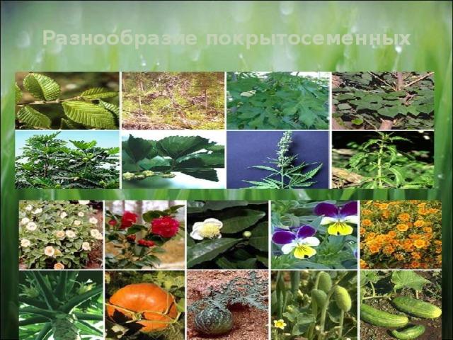 Разнообразие покрытосеменных 11