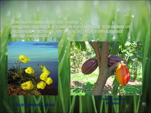 Покрытосеменные растения  Приспособились к самым различным условиям от ледяных пустынь Арктики до экваториальных лесов Амазонки.   Плоды какао-дерева Полярный мак 11