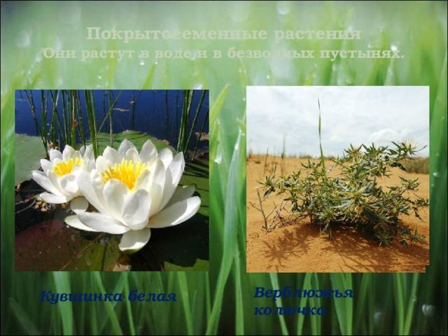 Покрытосеменные растения  Они растут в воде и в безводных пустынях. Верблюжья колючка  Кувшинка белая