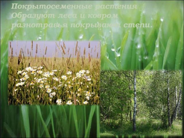 Покрытосеменные растения  Образуют леса и ковром разнотравья покрывают степи.