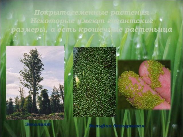Покрытосеменные растения  Некоторые имеют гигантские размеры, а есть крошечные растеньица   Эвкалипт Вольфия бескорневая