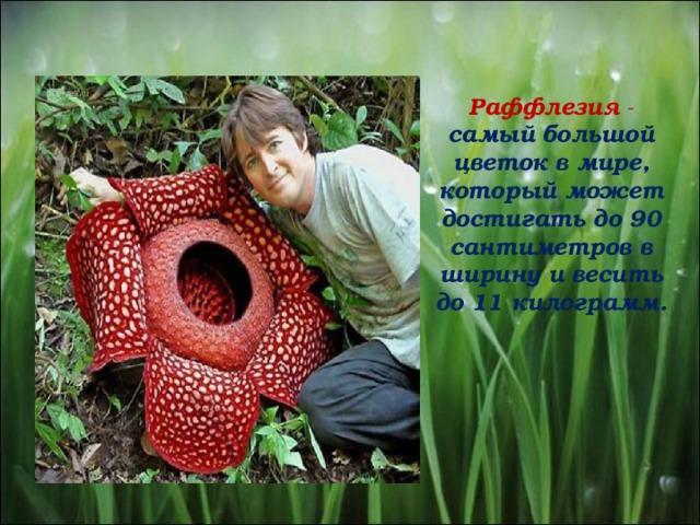 Раффлезия -  самый большой цветок в мире, который может достигать до 90 сантиметров в ширину и весить до 11 килограмм.