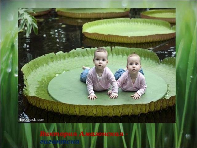 Виктория Амазонская - гигантска