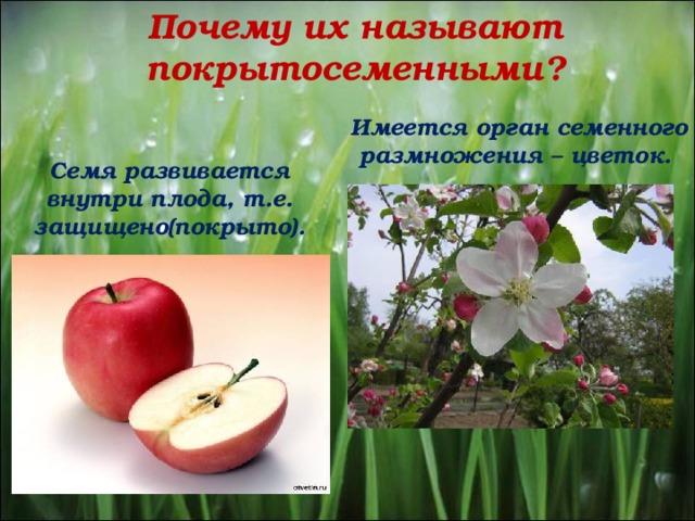 Почему их называют покрытосеменными? Имеется орган семенного размножения – цветок. Семя развивается внутри плода, т.е. защищено(покрыто).