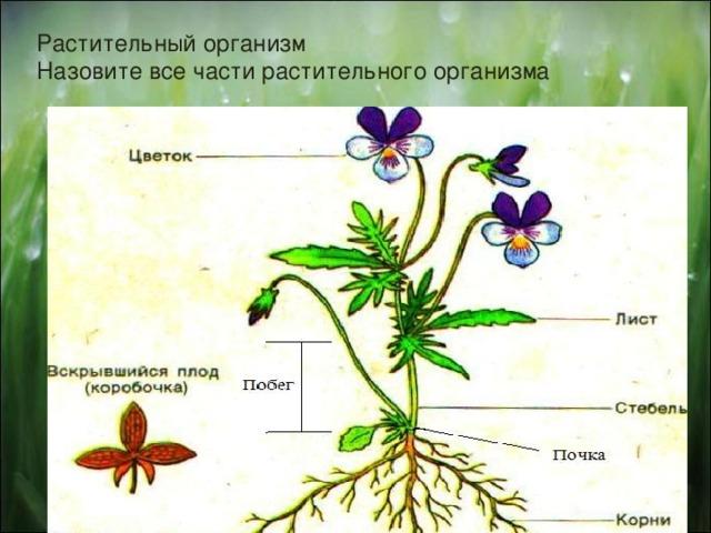 Растительный организм  Назовите все части растительного организма