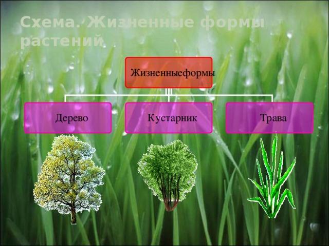 Схема. Жизненные формы растений 10