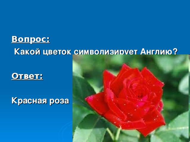 Вопрос:  Какой цветок символизирует Англию?  Ответ:  Красная роза