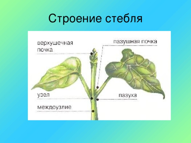 Строение стебля