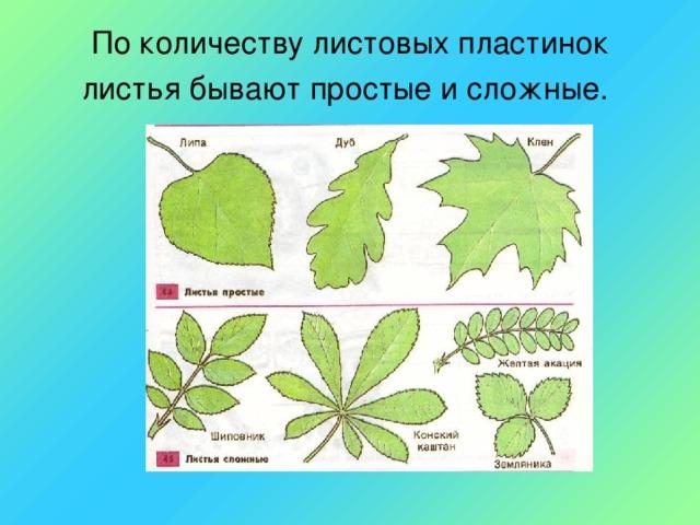 По количеству листовых пластинок листья бывают простые и сложные.