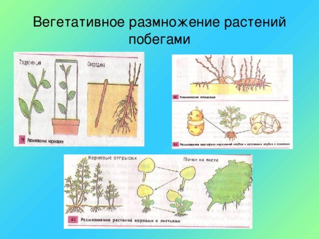 Вегетативное размножение растений побегами