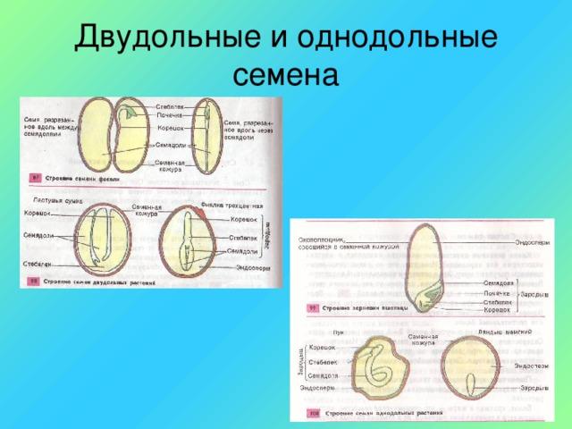Двудольные и однодольные семена