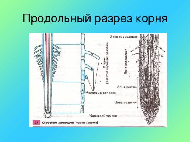 Продольный разрез корня