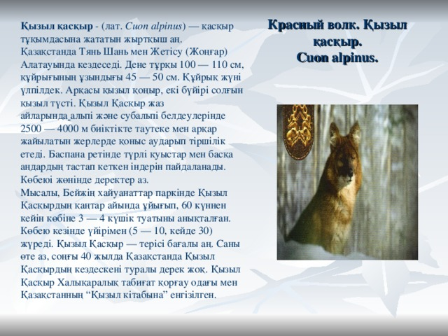 """Красный волк. Қызыл қасқыр.  Cuon alpinus. Қызыл қасқыр - (лат. Cuon alpinus ) — қасқыр тұқымдасына жататын жыртқыш аң. ҚазақстандаТянь ШаньменЖетісу(Жоңғар) Алатауында кездеседі. Дене тұрқы 100 — 110 см, құйрығының ұзындығы 45 — 50 см. Құйрық жүні үлпілдек. Арқасы қызыл қоңыр, екі бүйірі солғын қызыл түсті. Қызыл Қасқыр жаз айларында  альпіжәне субальпі белдеулерінде 2500 — 4000 м биіктікте таутеке мен арқар жайылатын жерлерде қоныс аударып тіршілік етеді. Баспана ретінде түрлі қуыстар мен басқа аңдардың тастап кеткен індерін пайдаланады. Көбеюі жөнінде деректер аз. Мысалы,Бейжіңхайуанаттар паркінде Қызыл Қасқырдың қаңтар айында ұйығып, 60 күннен кейін көбіне 3 — 4 күшік туатыны анықталған. Көбею кезінде үйірімен (5 — 10, кейде 30) жүреді. Қызыл Қасқыр — терісі бағалы аң. Саны өте аз, соңғы 40 жылда Қазақстанда Қызыл Қасқырдың кездескені туралы дерек жоқ. Қызыл Қасқыр Халықаралық табиғат қорғау одағы мен Қазақстанның """"Қызыл кітабына"""" енгізілген."""