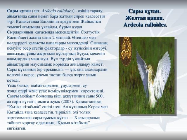 """Сары құтан.  Желтая цапля.  Ardeola ralloides. Сары құтан (лат. Ardeola ralloides ) - өзінің таралу аймағында саны кеміп бара жатқан сирек кездесетін түр. ҚазақстандаЕділдіңатырауы мен Жайықтың төменгі ағысында ұялайды, бұрын аздап Сырдарияның сағасында мекендейтін. Солтустік Каспийдегіжалпы саны 2 мыңдай. Өзендер мен көлдердегі қамысты қапаларды мекендейді. Санының кемуіне әсер ететін факторлар - су жүйесінің өзгеруі, аңшылық, ұяны жыртқыш құстардың бұзуы, мекенін адамдардың мазалауы. Бұл түрдің ұялайтын аймақтарын маусымдық қорыққа айналдыру қажет. Сары құтанның бір ерекшелігі — ұясына адамдардың келгенін көрсе, ұясын тастап басқа жерге ұшып кетеді. Ұсақ балық шабақтарымен, ұлулармен, су жәндіктері және ұсақ кемірушілермен коректенеді. Соңғы мәлімет бойынша кіші аққұтанның саны 500, ал сары құтан 1 мыңға жуық (2003). Қазақстанның """"Қызыл кітабына"""" енгізілген. Ал құтанның Корея мен Қытайдағана кездесетін, тіршілігі әлі толық зерттелмеген-сарытұмсық құтан — Халықаралық табиғат қорғау одағының """"Қызыл кітабына"""" енгізілген."""