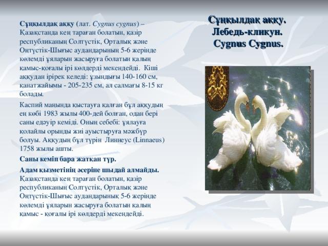 Сұңқылдақ аққу.  Лебедь-кликун.  Cygnus Cygnus. Сұңқылдақ аққу ( лат. Cygnus cygnus ) –Қазақстанда кең тараған болатын, қазір республиканың Солтүстік, Орталық және Оңтүстік-Шығыс аудандарының 5-6 жерінде көлемді ұяларын жасыруға болатын қалың қамыс-қоғалы ірі көлдерді мекендейді. Кіші аққудан ірірек келеді: ұзындығы 140-160 см, қанатжайымы - 205-235 см, ал салмағы 8-15 кг болады. Каспиймаңында қыстауға қалған бұл аққудың ең көбі 1983 жылы 400-дей болған, одан бері саны едәуір кеміді. Оның себебі: ұялауға қолайлы орынды жиі ауыстыруға мәжбүр болуы. Аққудың бұл түрін Линнеус (Linnaeus) 1758 жылы ашты. Саны кеміп бара жатқан түр. Адам қызметінің әсеріне шыдай алмайды. Қазақстанда кең тараған болатын, қазір республиканың Солтүстік, Орталық және Оңтүстік-Шығыс аудандарынық 5-6 жерінде көлемді ұяларын жасыруға болатын қалың қамыс - қоғалы ірі көлдерді мекендейді.