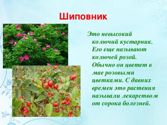 Доклад о кустарниках шиповник 6316
