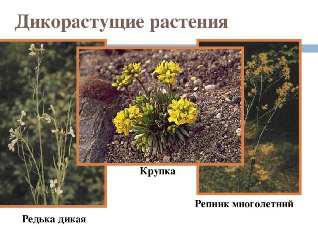 Дикорастущие растения Крупка  Репник многолетний  Редька дикая
