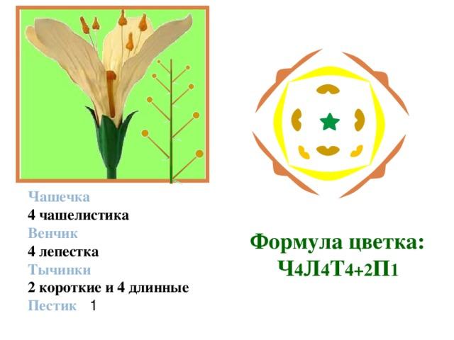Строение цветка   Чашечка 4 чашелистика Венчик 4 лепестка Тычинки 2 короткие и 4 длинные Пестик   1 Формула  цветка:  Ч 4 Л 4 Т 4+2 П 1
