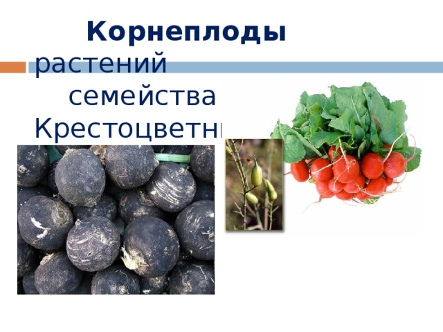 Корнеплоды растений  семейства Крестоцветные