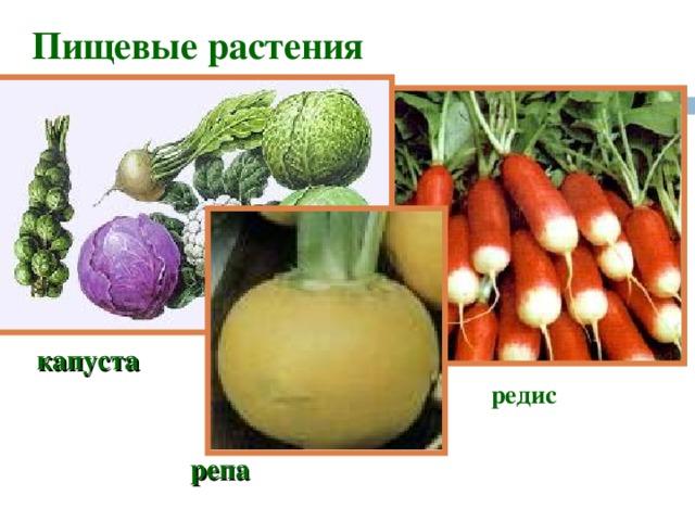 Пищевые растения капуста редис репа