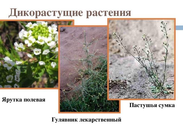 Дикорастущие растения Ярутка полевая Пастушья сумка Гулявник лекарственный