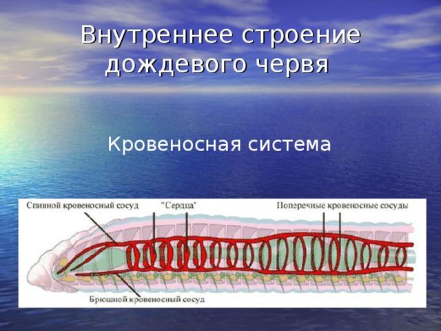 Внутреннее строение дождевого червя Кровеносная система