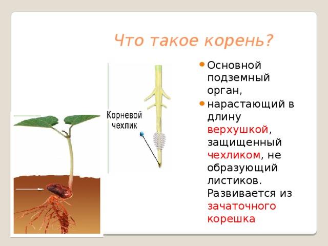 Что такое корень?