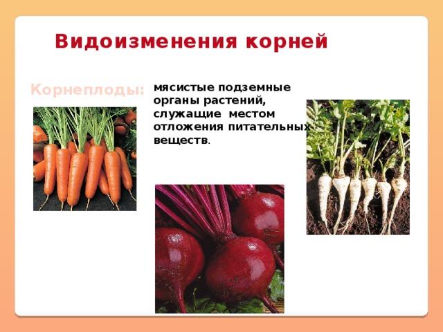 Видоизменения корней Корнеплоды: мясистые подземные органы растений, служащие местом отложения питательных веществ .