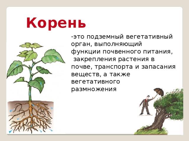 Корень -это подземный вегетативный орган, выполняющий функции почвенного питания,  закрепления растения в почве, транспорта и запасания веществ, а также вегетативного размножения