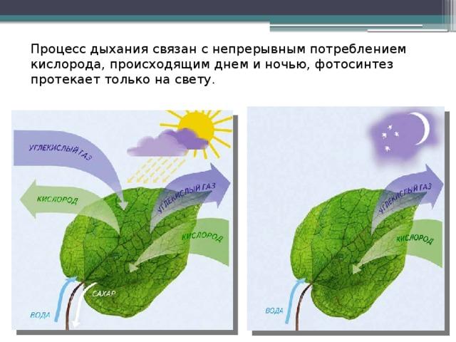 цвет листа и фотосинтез многолетнее, вечнозелёное
