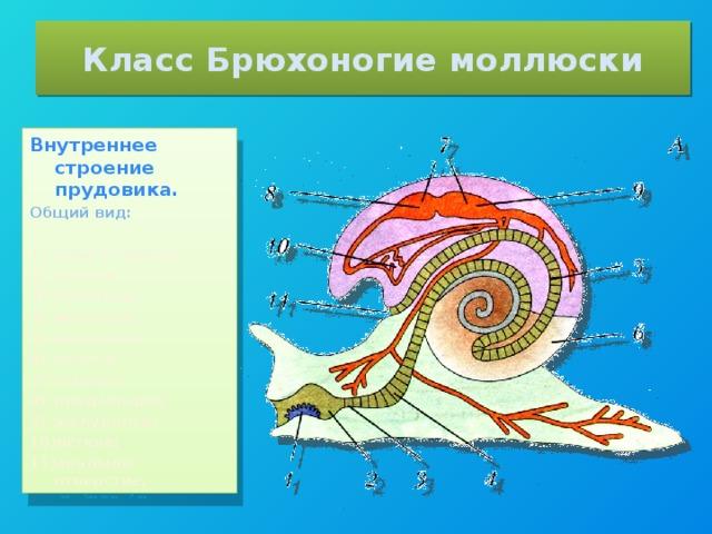 Класс Брюхоногие моллюски Внутреннее строение прудовика. Общий вид: