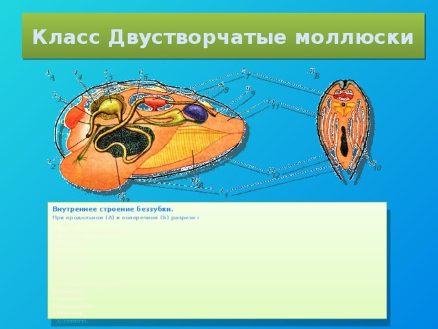 Класс Двустворчатые моллюски Внутреннее строение беззубки. При продольном (А) и поперечном (Б) разрезе :