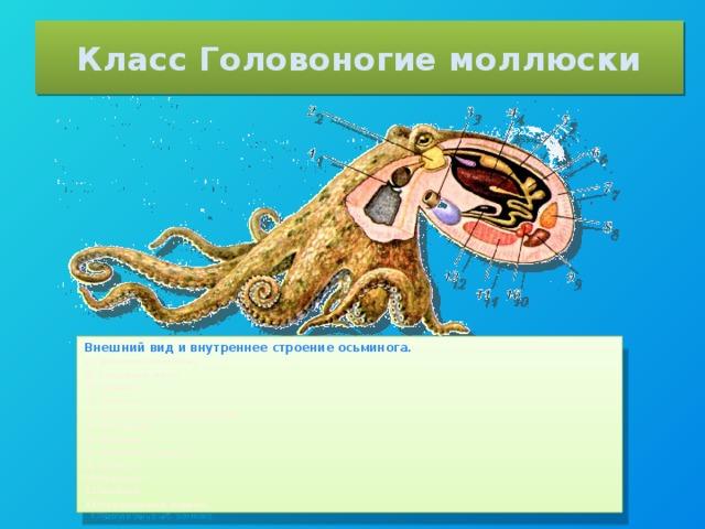 Класс Головоногие моллюски Внешний вид и внутреннее строение осьминога.