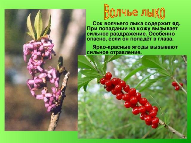Сок волчьего лыка содержит яд. При попадании на кожу вызывает сильное раздражение. Особенно опасно, если он попадёт в глаза.  Ярко-красные ягоды вызывают сильное отравление.