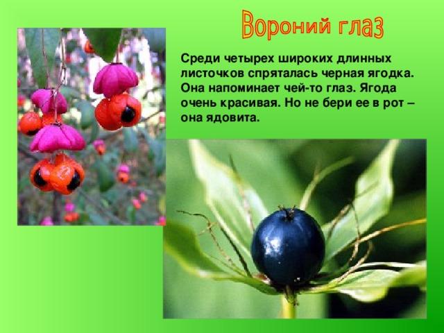 Среди четырех широких длинных листочков спряталась черная ягодка. Она напоминает чей-то глаз. Ягода очень красивая. Но не бери ее в рот – она ядовита.