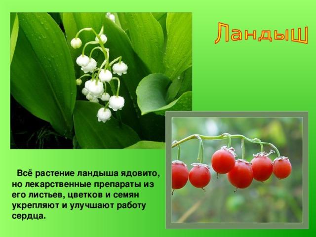 Всё растение ландыша ядовито, но лекарственные препараты из его листьев, цветков и семян укрепляют и улучшают работу сердца.
