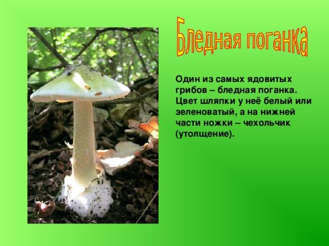 Один из самых ядовитых грибов  – бледная поганка. Цвет шляпки у неё белый или зеленоватый, а на нижней части ножки – чехольчик (утолщение).