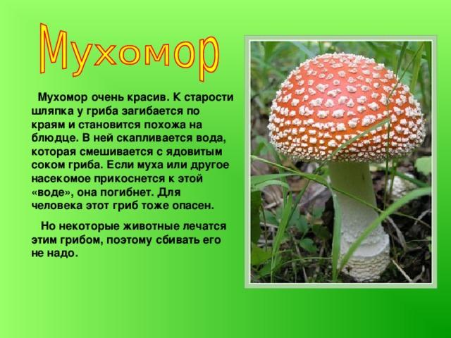 Мухомор очень красив. К старости шляпка у гриба загибается по краям и становится похожа на блюдце. В ней скапливается вода, которая смешивается с ядовитым соком гриба. Если муха или другое насекомое прикоснется к этой «воде», она погибнет. Для человека этот гриб тоже опасен.  Но некоторые животные лечатся этим грибом, поэтому сбивать его не надо.