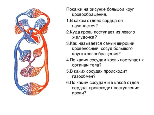 Покажи на рисунке большой круг кровообращения. 1.В каком отделе сердца он начинается? 2.Куда кровь поступает из левого желудочка? 3.Как называется самый широкий кровеносный сосуд большого круга кровообращения? 4.По каким сосудам кровь поступает к органам тела? 5.В каких сосудах происходит газообмен? 6.По каким сосудам и в какой отдел сердца происходит поступление крови?