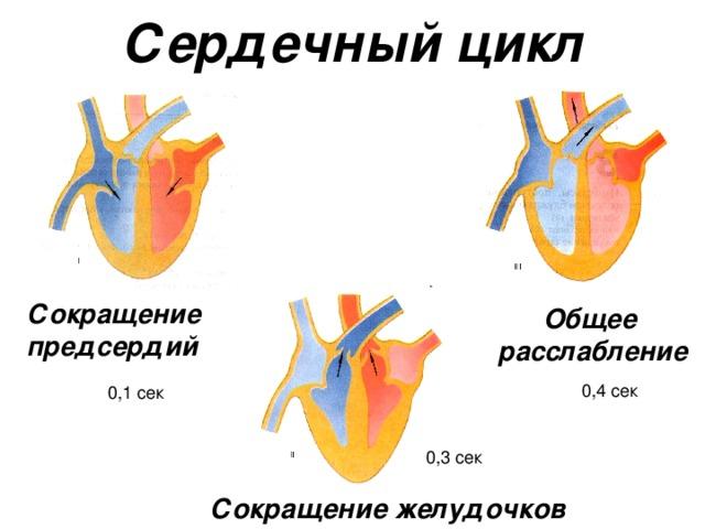 Сердечный цикл Сокращение предсердий  Общее расслабление Сокращение желудочков
