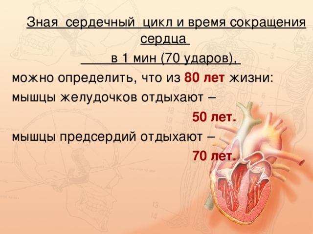 Зная сердечный цикл и время сокращения сердца  в 1 мин (70 ударов), можно определить, что из 80 лет жизни: мышцы желудочков отдыхают –  50 лет. мышцы предсердий отдыхают –  70 лет.